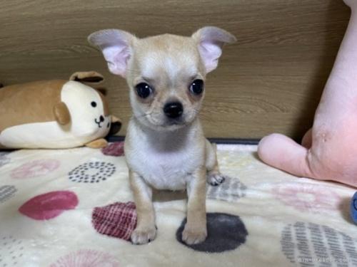チワワ(ロング)の子犬(ID:1239111093)の2枚目の写真/更新日:2018-07-19