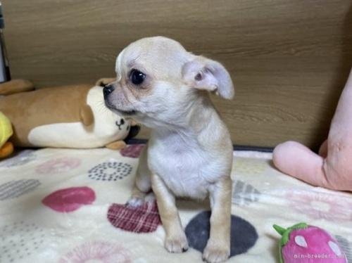 チワワ(ロング)の子犬(ID:1239111093)の3枚目の写真/更新日:2018-07-19