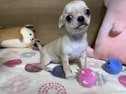 チワワ(ロング)の子犬(ID:1239111093)の4枚目の写真/更新日:2018-07-19