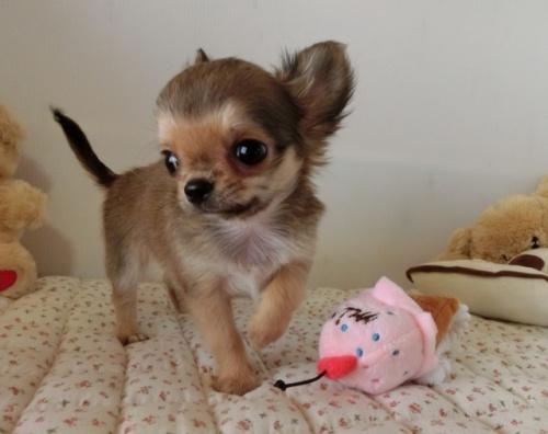 チワワ(ロング)の子犬(ID:1239111094)の1枚目の写真/更新日:2018-07-19