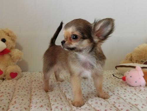 チワワ(ロング)の子犬(ID:1239111094)の3枚目の写真/更新日:2018-07-19