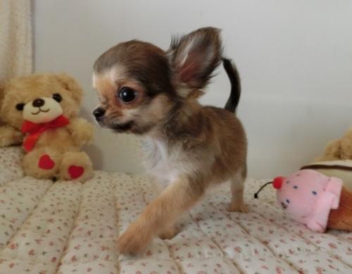 チワワ(ロング)の子犬(ID:1239111094)の4枚目の写真/更新日:2018-07-19