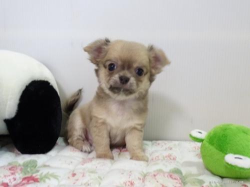チワワ(ロング)の子犬(ID:1239111096)の1枚目の写真/更新日:2018-08-04