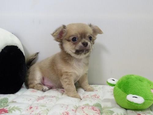 チワワ(ロング)の子犬(ID:1239111096)の2枚目の写真/更新日:2018-08-04