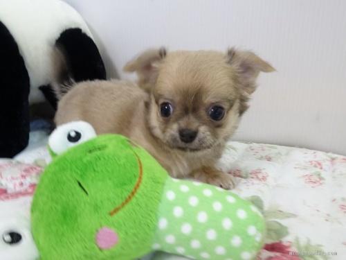 チワワ(ロング)の子犬(ID:1239111096)の3枚目の写真/更新日:2018-08-04