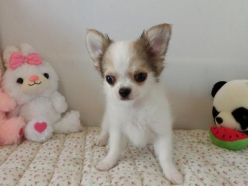 チワワ(ロング)の子犬(ID:1239111098)の1枚目の写真/更新日:2018-07-02