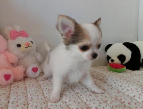 チワワ(ロング)の子犬(ID:1239111098)の2枚目の写真/更新日:2018-07-02