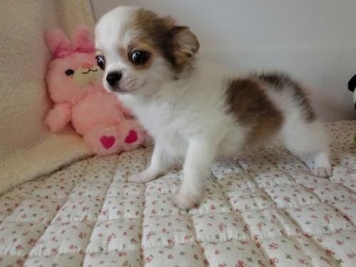 チワワ(ロング)の子犬(ID:1239111098)の3枚目の写真/更新日:2018-07-02