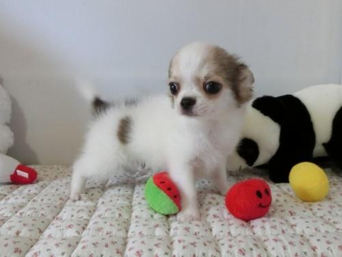 チワワ(ロング)の子犬(ID:1239111098)の4枚目の写真/更新日:2018-07-02