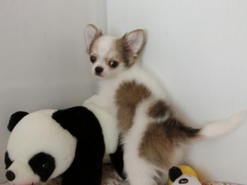 チワワ(ロング)の子犬(ID:1239111098)の5枚目の写真/更新日:2018-07-02