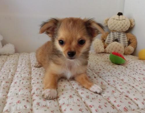 チワワ(ロング)の子犬(ID:1239111099)の1枚目の写真/更新日:2018-07-02