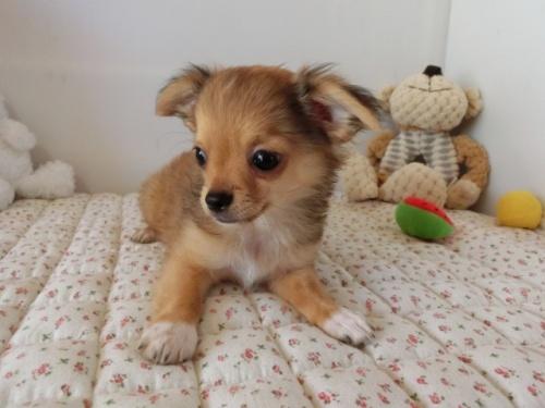 チワワ(ロング)の子犬(ID:1239111099)の2枚目の写真/更新日:2018-07-02
