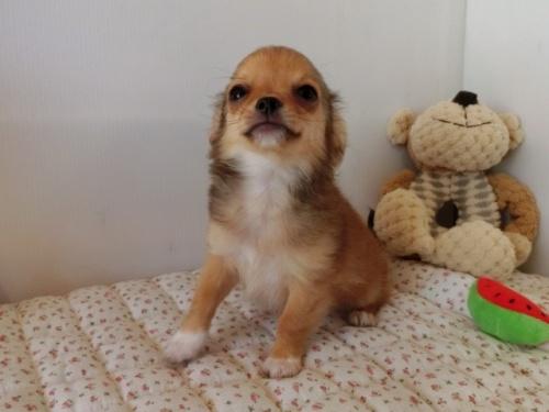 チワワ(ロング)の子犬(ID:1239111099)の3枚目の写真/更新日:2018-07-02