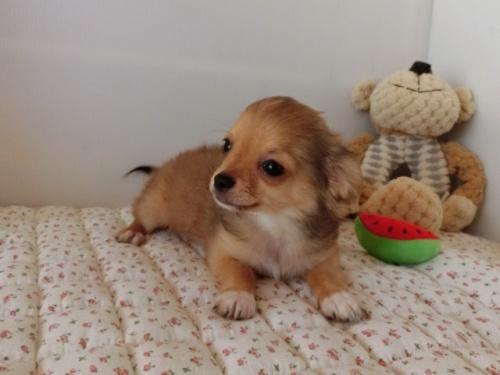 チワワ(ロング)の子犬(ID:1239111099)の4枚目の写真/更新日:2018-07-02