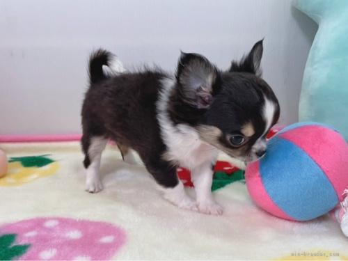 チワワ(スムース)の子犬(ID:1239111100)の3枚目の写真/更新日:2018-08-04