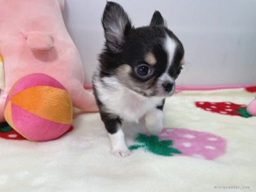 チワワ(スムース)の子犬(ID:1239111100)の5枚目の写真/更新日:2018-08-04