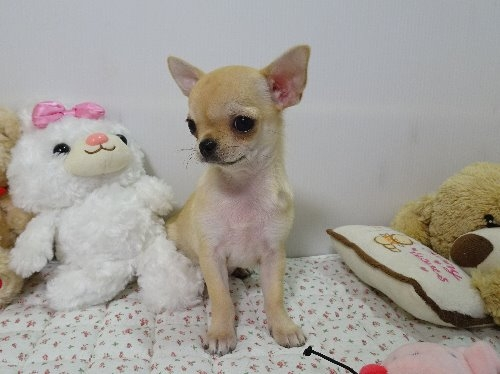 チワワ(ロング)の子犬(ID:1239111102)の2枚目の写真/更新日:2017-04-23