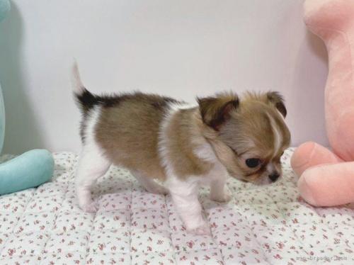 チワワ(ロング)の子犬(ID:1239111102)の3枚目の写真/更新日:2018-08-04
