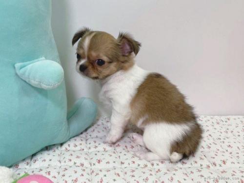 チワワ(ロング)の子犬(ID:1239111102)の4枚目の写真/更新日:2017-04-23