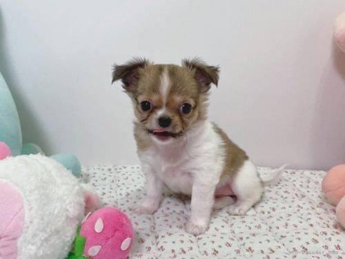 チワワ(ロング)の子犬(ID:1239111102)の5枚目の写真/更新日:2017-04-23