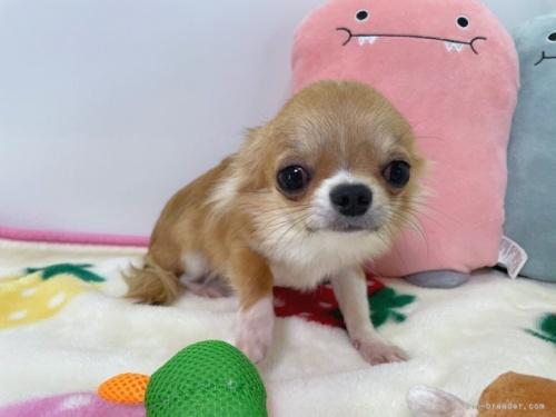 チワワ(ロング)の子犬(ID:1239111103)の2枚目の写真/更新日:2017-04-23