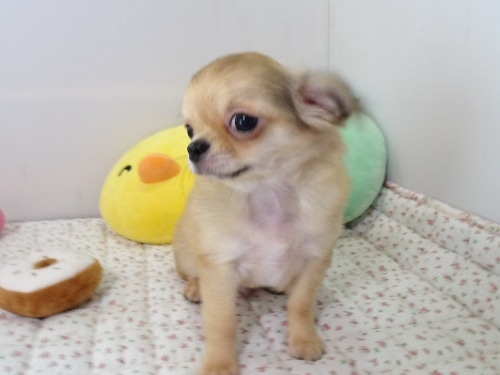 チワワ(ロング)の子犬(ID:1239111103)の3枚目の写真/更新日:2017-04-23