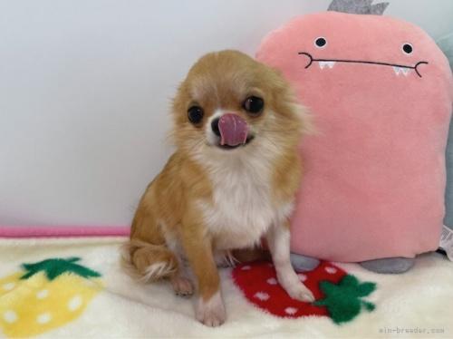チワワ(ロング)の子犬(ID:1239111103)の4枚目の写真/更新日:2017-04-23