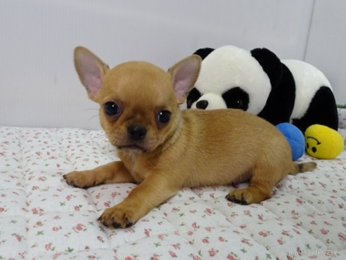 チワワ(ロング)の子犬(ID:1239111104)の2枚目の写真/更新日:2017-05-19