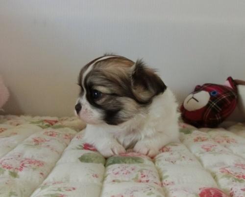チワワ(ロング)の子犬(ID:1239111105)の2枚目の写真/更新日:2017-05-02