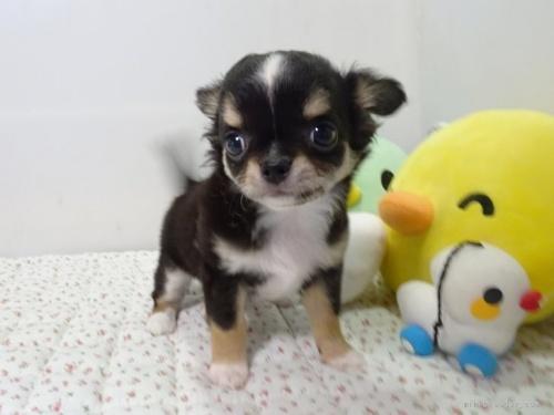 チワワ(ロング)の子犬(ID:1239111106)の1枚目の写真/更新日:2017-05-02