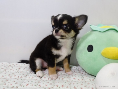 チワワ(ロング)の子犬(ID:1239111106)の2枚目の写真/更新日:2017-05-02