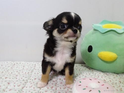 チワワ(ロング)の子犬(ID:1239111106)の3枚目の写真/更新日:2017-05-02