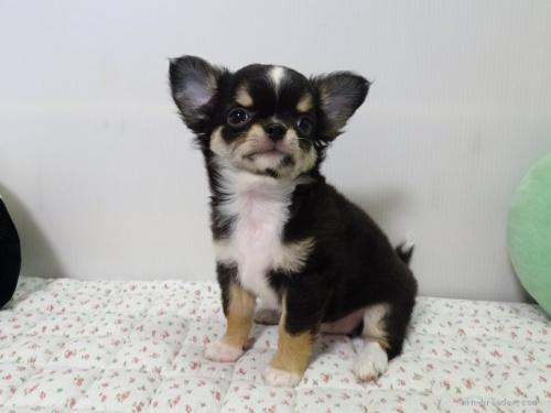 チワワ(ロング)の子犬(ID:1239111106)の4枚目の写真/更新日:2017-05-02