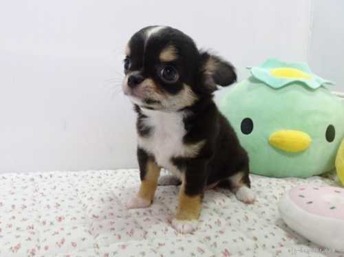 チワワ(ロング)の子犬(ID:1239111106)の5枚目の写真/更新日:2017-05-02