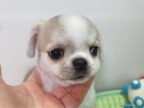 チワワ(ロング)の子犬(ID:1239111107)の3枚目の写真/更新日:2017-05-22