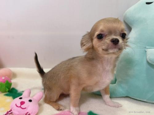 チワワ(ロング)の子犬(ID:1239111108)の1枚目の写真/更新日:2017-06-21