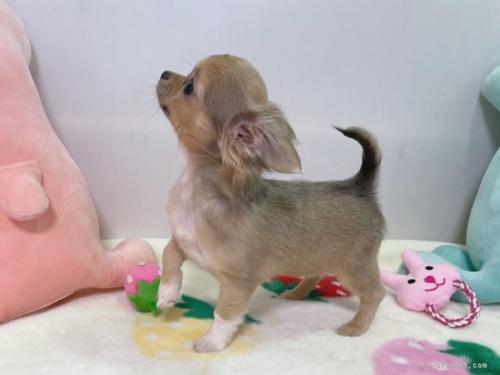 チワワ(ロング)の子犬(ID:1239111108)の3枚目の写真/更新日:2017-06-21