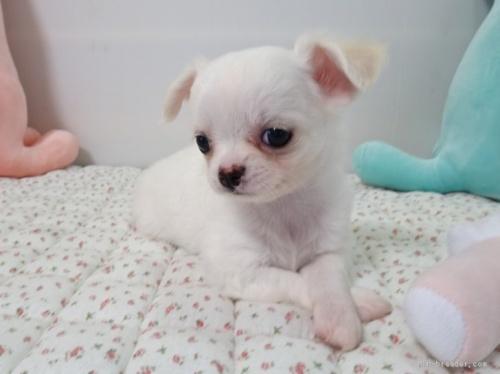 チワワ(ロング)の子犬(ID:1239111109)の1枚目の写真/更新日:2017-05-29