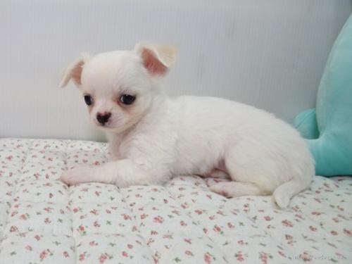 チワワ(ロング)の子犬(ID:1239111109)の2枚目の写真/更新日:2017-05-29