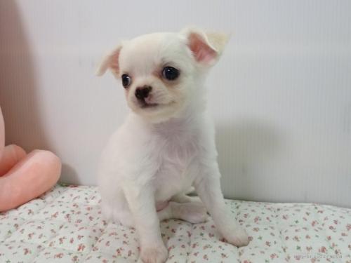 チワワ(ロング)の子犬(ID:1239111109)の4枚目の写真/更新日:2017-05-29