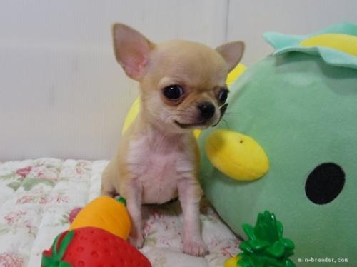 チワワ(ロング)の子犬(ID:1239111110)の1枚目の写真/更新日:2017-06-17