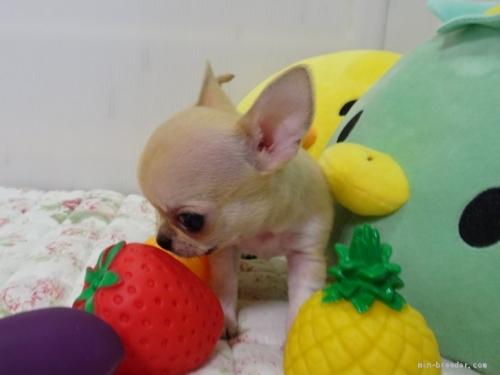 チワワ(ロング)の子犬(ID:1239111110)の3枚目の写真/更新日:2017-06-17