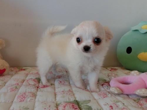チワワ(ロング)の子犬(ID:1239111111)の1枚目の写真/更新日:2017-06-21