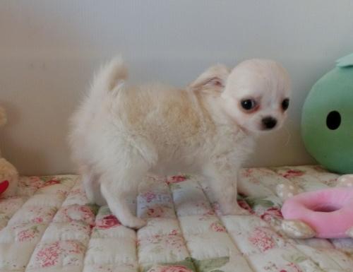 チワワ(ロング)の子犬(ID:1239111111)の2枚目の写真/更新日:2017-06-21