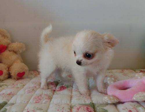チワワ(ロング)の子犬(ID:1239111111)の5枚目の写真/更新日:2017-06-21