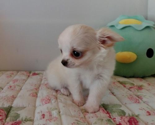 チワワ(ロング)の子犬(ID:1239111111)の6枚目の写真/更新日:2017-06-17