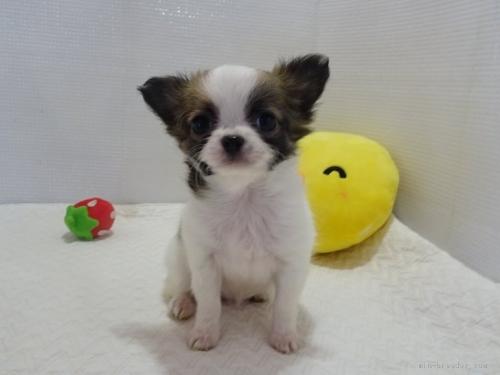 チワワ(ロング)の子犬(ID:1239111112)の1枚目の写真/更新日:2017-07-11