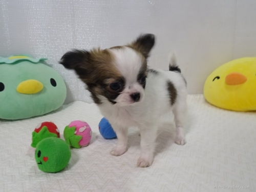 チワワ(ロング)の子犬(ID:1239111112)の2枚目の写真/更新日:2017-07-11