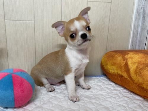 チワワ(ロング)の子犬(ID:1239111113)の1枚目の写真/更新日:2018-11-23