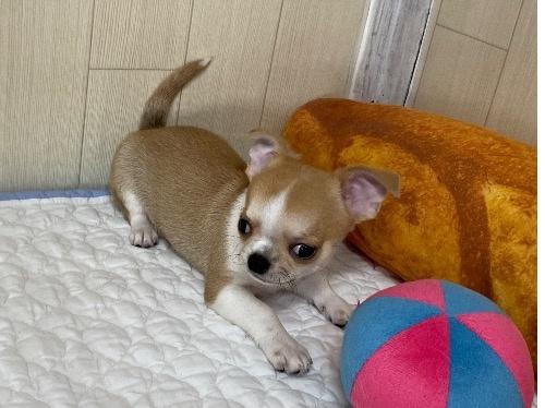 チワワ(ロング)の子犬(ID:1239111113)の2枚目の写真/更新日:2017-10-16